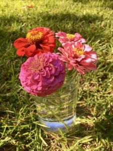 colorful-zinnias